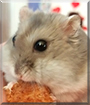 Snoopy the Winter White Dwarf Hamster