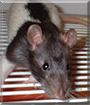 Akela the Hooded Rat