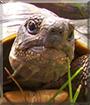 Bobo the Tortoise