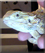 Zeus the Bearded Dragon