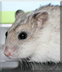 Ninni the Chinese Dwarf Hamster