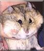 Hamakin Skywalker the Russian Dwarf Hamster