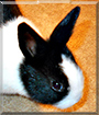 Peanut the Dutch Rabbit
