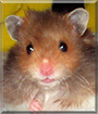 Skeezix the Long-haired Teddy Bear Hamster