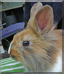 Gustav the Lionhead mix Rabbit