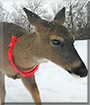 Madeleine the White-tailed Deer