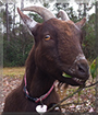 Olive the Nigerian Dwarf Goat