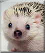 Robb the African Pygmy Hedgehog