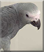 Princess Diana the Congo African Grey Parrot