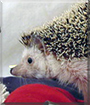 Hertha the African Pygmy Hedgehog