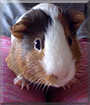 Buddy the American Guinea Pig