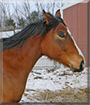 CeCe the Quarter Horse, Arabian cross