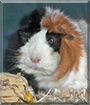 Schubert the Abyssinian Cavy (Guinea Pig)