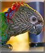 Maverick the Hawkhead Parrot