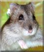 Barcie the Djungarian Hamster