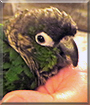 R2 the Green Cheeked Conure