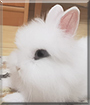 Mochi the Dwarf Rabbit