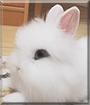 Mochi the Dwarf Rabbit