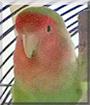 Pucki the Lovebird