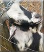 Clyde the Nigerian/Pygmy Hybrid Goat