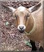 Bonnie the Pygmy Goat