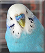 Toad the Budgerigar
