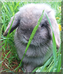Chloe the Holland Lop Rabbit