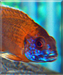 Sunburn the African Cichlid