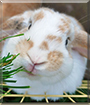 Apple the Rabbit