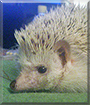 Pinde the African Pigmy Hedgehog