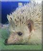 Pinde the African Pigmy Hedgehog