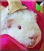 Snowflake the Guinea Pig