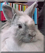Isidora the Lionhead Rabbit