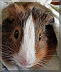 Squeaky the Rex Guinea Pig