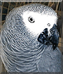 Tongo the African Grey Parrot