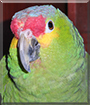 Periquin the Red-lored Amazon Parrot