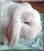 Willi the Dwarf Lop Bunny Rabbit