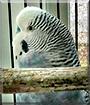 Midnight the Parakeet