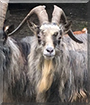 Seamus the Old Irish Billy Goat