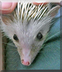 Hedgie the African Pygmy hedgehog