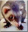 Cloe the Ferret