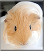 Aly the Silkie Guinea Pig