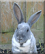 Bumble the Rex Rabbit