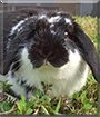 Lovey the Lop Rabbit
