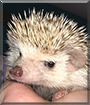 Amber the African Pygmy Hedgehog