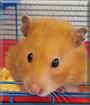 Jo Jo the Syrian Hamster