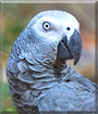 Levi the Congo African Grey
