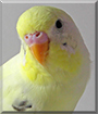 Amerillo the Budgerigar