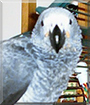 Mojo the Congo African Grey Parrot