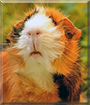 Lorelay the Abyssinian Guinea Pig